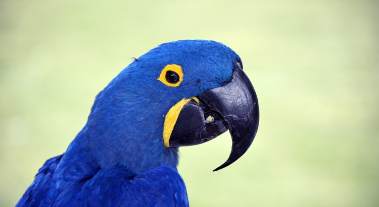 capt-peacocks-journal-macaws