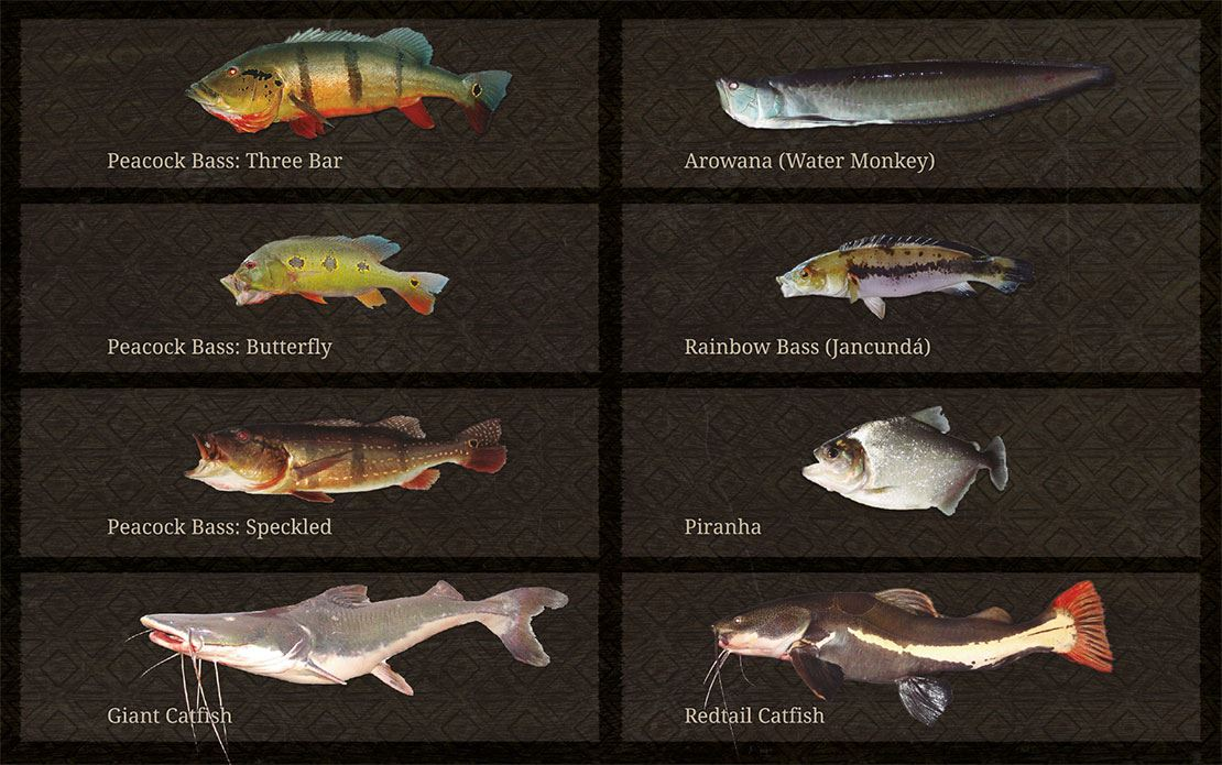 fish species Amazon Brazil